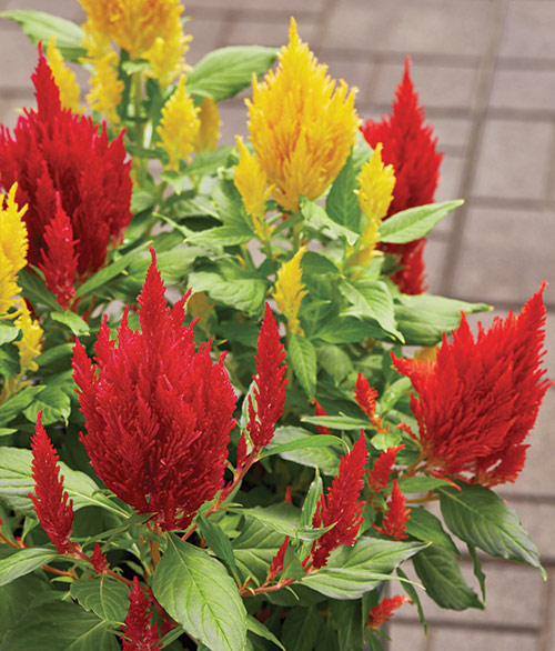 fp-pg-long-blooming-color-celosia2