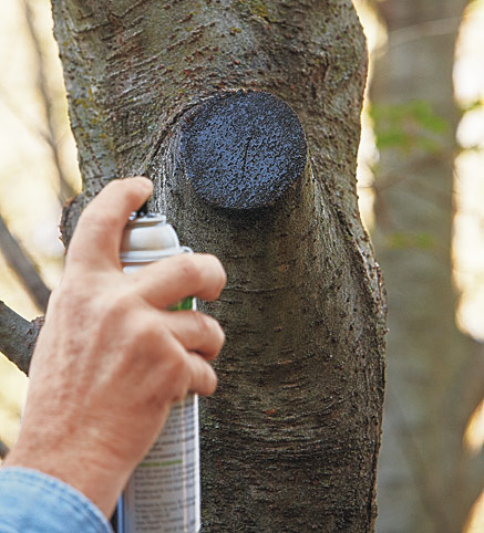 Sealing a fresh cut tree limb with paint: Sealing a fresh cut on a tree with paint or sealer is not recommended.