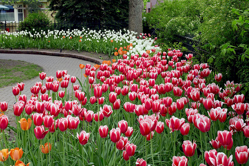 Red-flowers-for-your-garden-lead: Tulips in red and white have a strong contrast so you're sure to see them even from a distance.