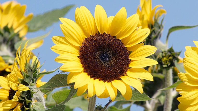 7 Must Have Sunflowers To Grow In Your Garden Garden Gate