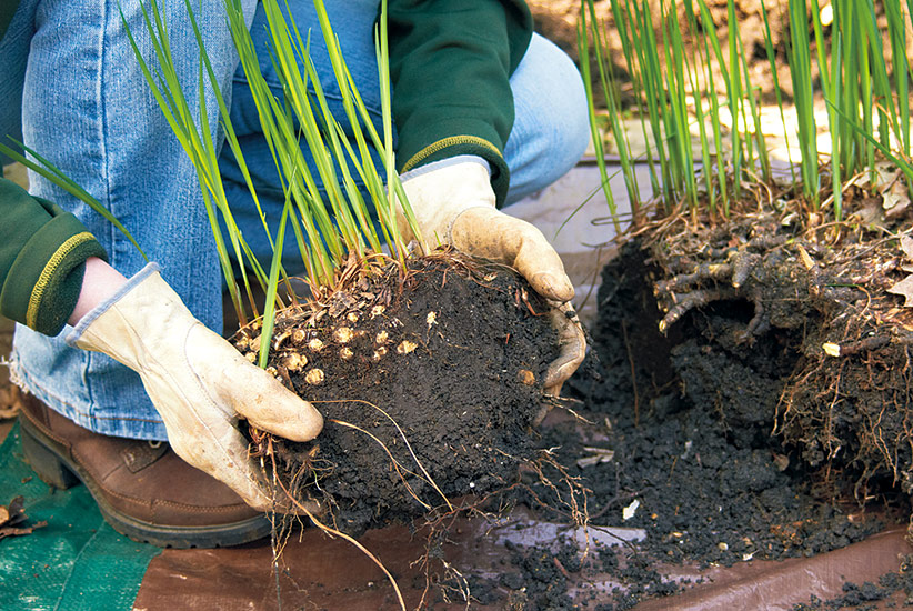 how-to-divide-plants-with-dead-centers-replant-healthy-clump