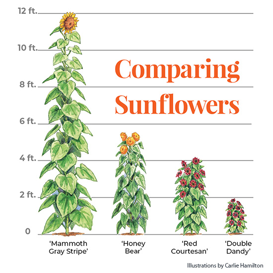 Sunflower-size-graphic: Here you can see the large range of sizes available for sunflowers.