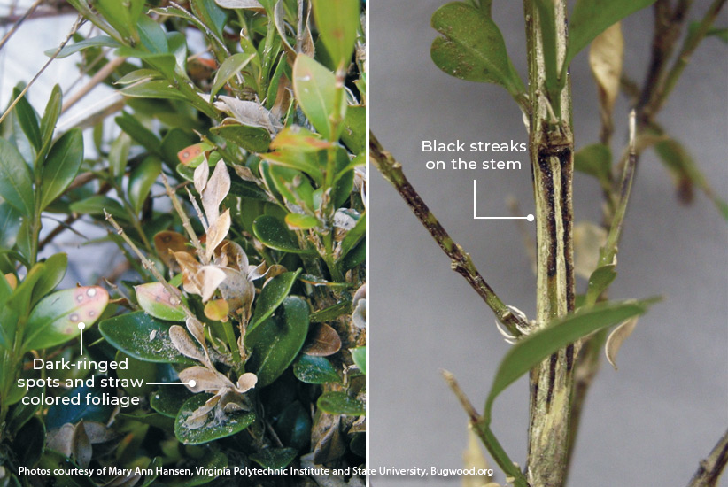 Boxwood-blight-symptoms: Here you can see symptoms of boxwood blight. First you'll notice circular lesions with dark brown edges on the leaves and black streaking on the stems.