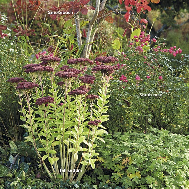 tall sedum with roses and smokebush in a garden border: Companions with a long season of interest, such as smokebush and shrub roses, make a great supporting cast for tall sedum.