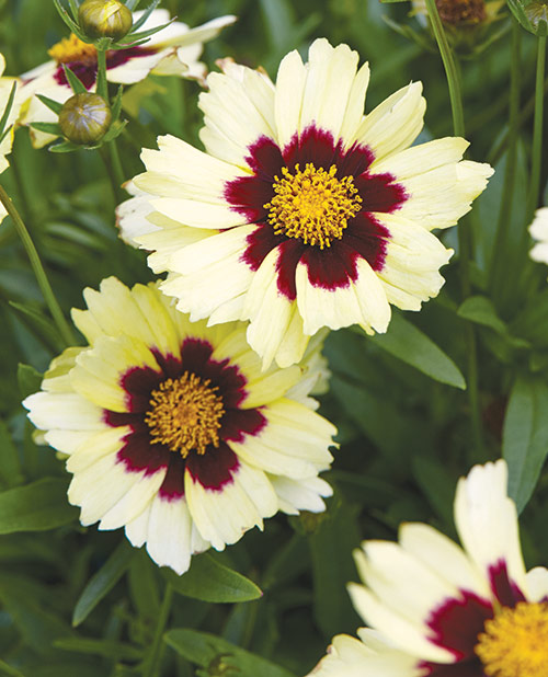 fp-pg-long-blooming-color-coreopsis2