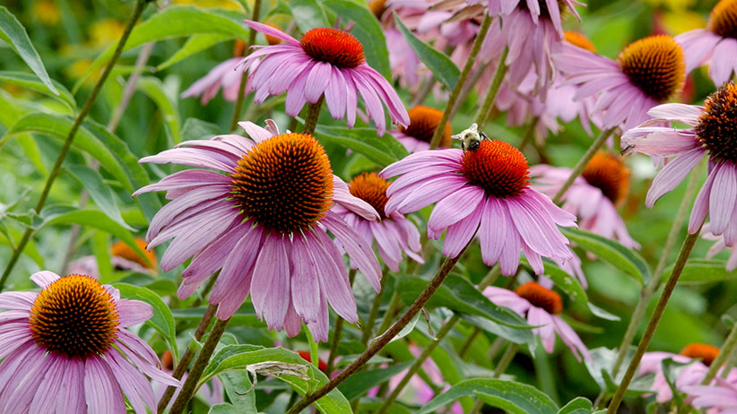 perennial-seeds-to-sow-in-fall-pv: You can plant seeds for perennials like this purple coneflower (Echinacea purpurea) in late fall.