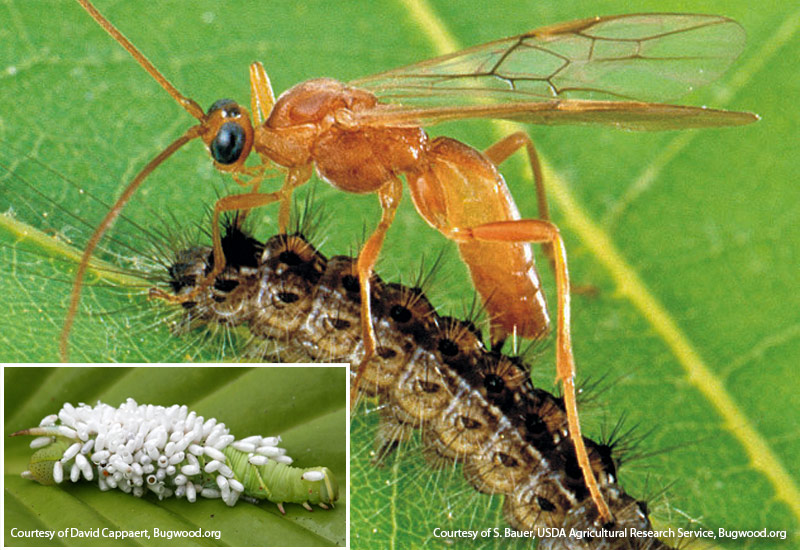 beneficial-garden-insects-Braconid-wasp