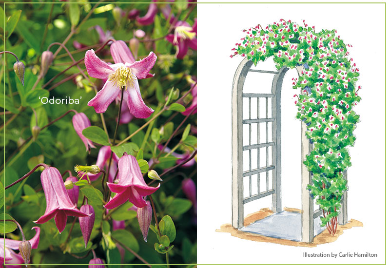 Odoriba-clematis-with-illustration: 'Odoriba' clematis has lilylike pink and white flowers in late summer through early fall.