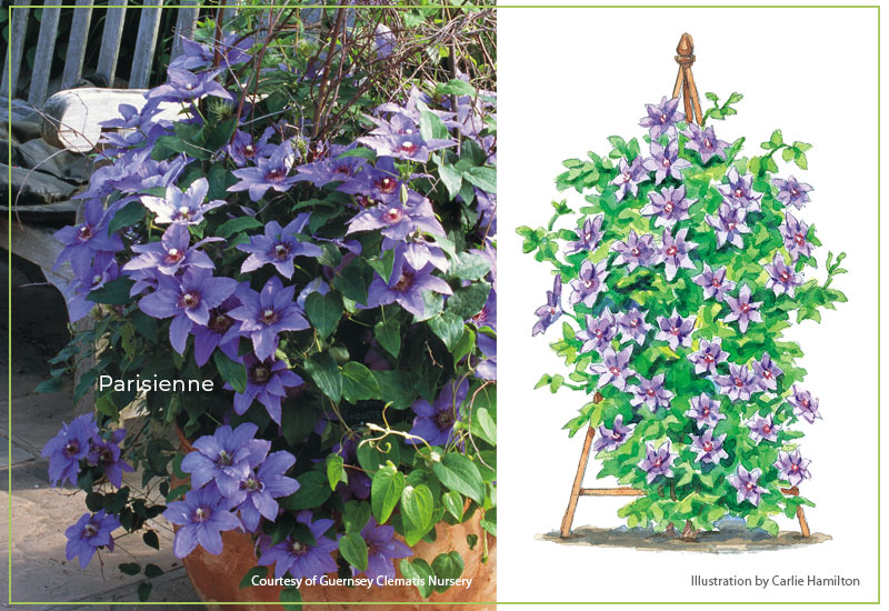 Parisienne-clematis-with-illustration: Parisienne™ is compact and grows easily in a large container.