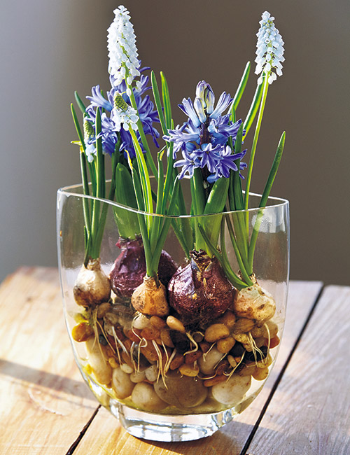 how-to-force-bulbs-indoor-on-stones: Nestle a few bulbs into a bed of stones for a beautiful display.