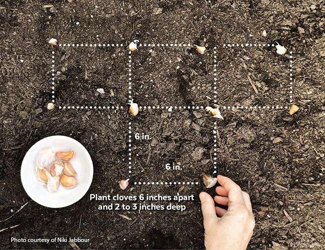 Planting garlic spacing guide: Planting in a grid pattern provides plenty of room for cloves to grow into large bulbs.