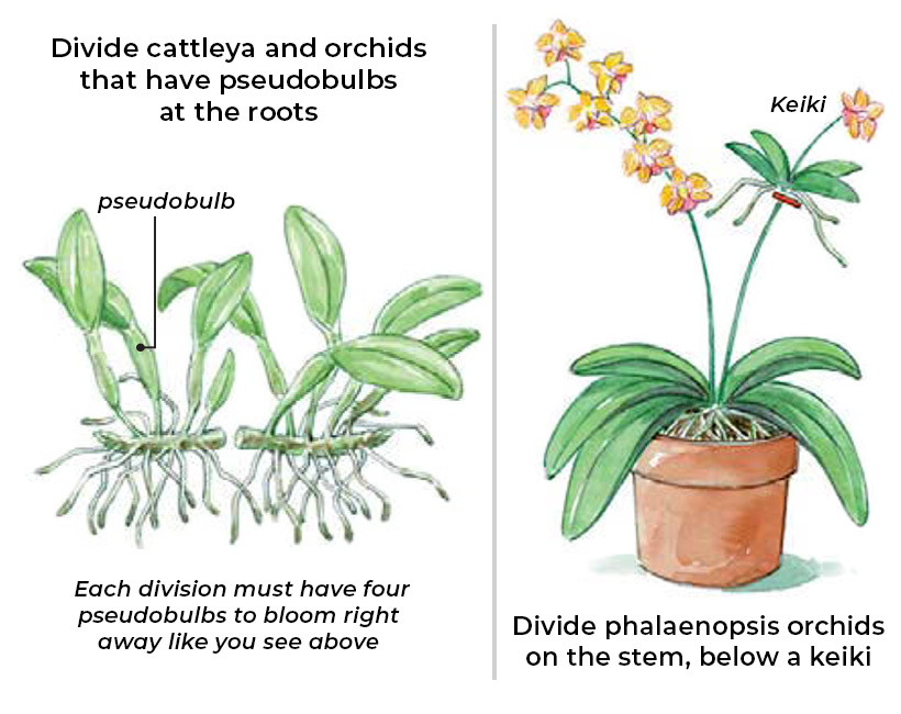 Illustration showing how to divide different types of orchids