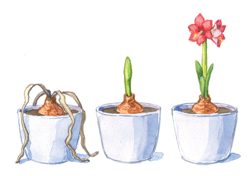 fp-help-your-amaryllis-bloom-twice more-blooms: After it has gone dormant, you can prepare your bulb to blooms again.