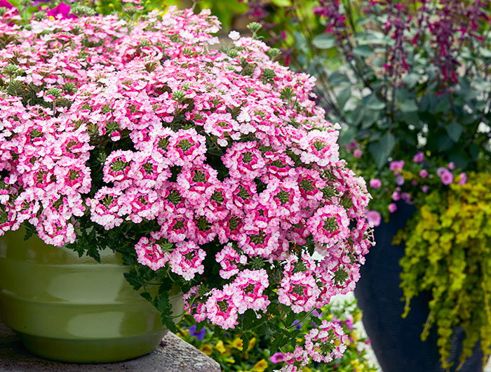 long-lasting-annuals-for-your-garden-Verbena-endurascape-pink-fizz-lead: EnduraScape™ verbena is a long-lasting annual for containers and comes in several varieties including Pink Fizz, shown here.