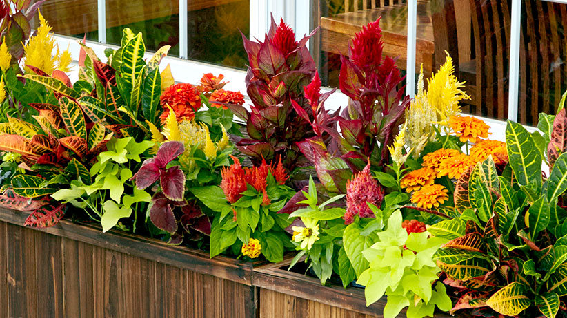 colorful-foliage-windowboxes-pv2: Bright celosia plumes and colorful croton leaves create a bold plant combination.
