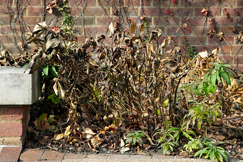 Dead peony foliage in fall: Dead peony foliage in fall can be unsightly and also harbor disease if left through winter.