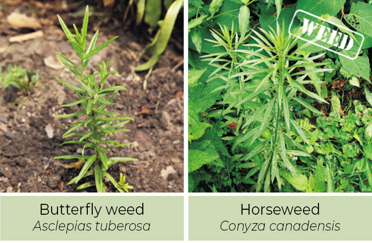 Butterfly Weed and Horseweed comparison: Butterfly weed leaves have a smooth edge.