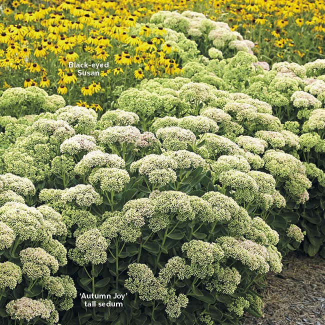 Tall sedum and black-eyed-susan in a garden border: Tightly packed clusters of these tall sedum flowers-in-waiting create an interesting texture in the garden.