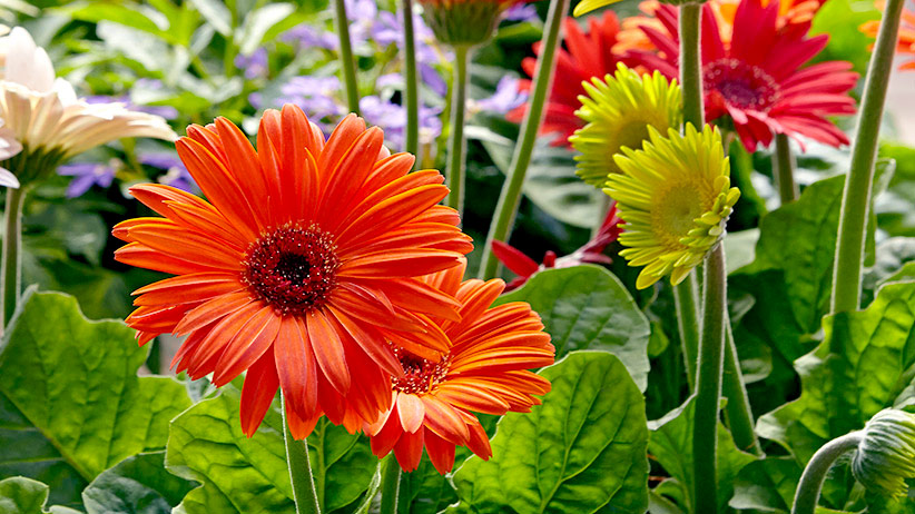 Image result for Gerbera garden in spring