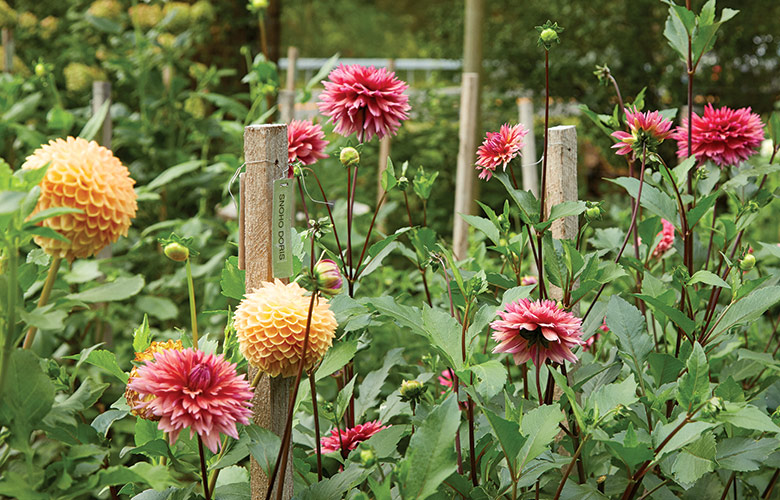 Dahlias growing in the garden: Dahlias are late-season showoffs in the garden and the backbone of gorgeous fall flower arrangements.