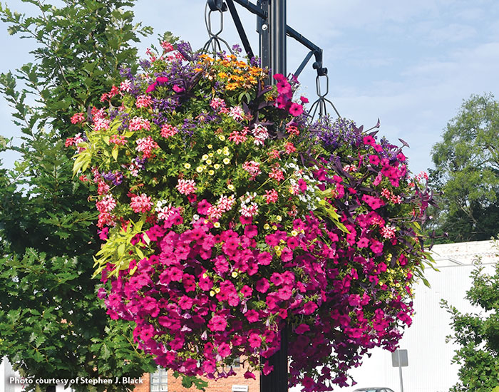 Hanging-basket-hacks-downtown-baskets-Stephen-Black-VA: Want lush hanging baskets like the ones above? Plant large baskets — at least 18 in. diameter — on the top and side.