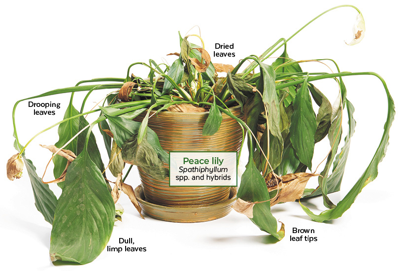 Trouble shooting underwatered house plants: This peace lily has several signs of being underwatered including dried and drooping leaves.