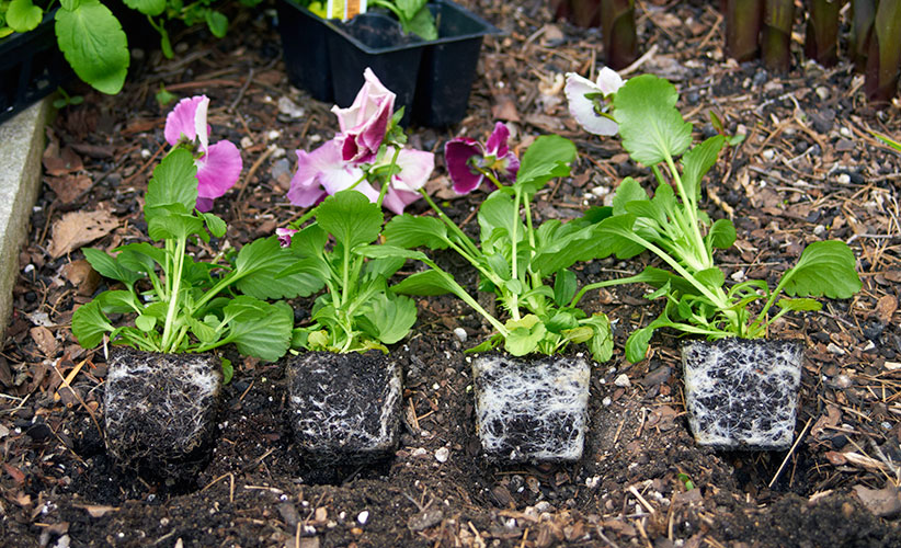 how-to-plant-pansies-spacing: Pack plants together so they show off  better. At 2 to 4 inches apart the plants will grow together and look like a large mass.