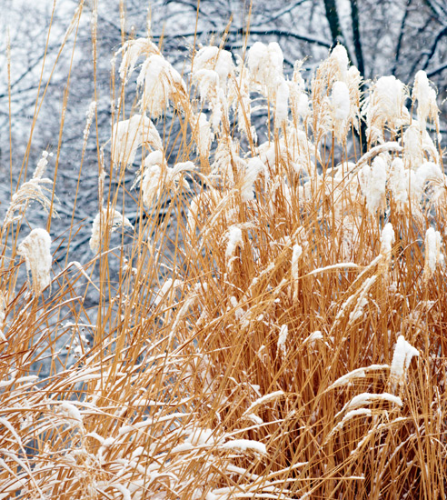 winter-garden-grasses: Leave ornamental grasses through winter to add interest to your winter garden.