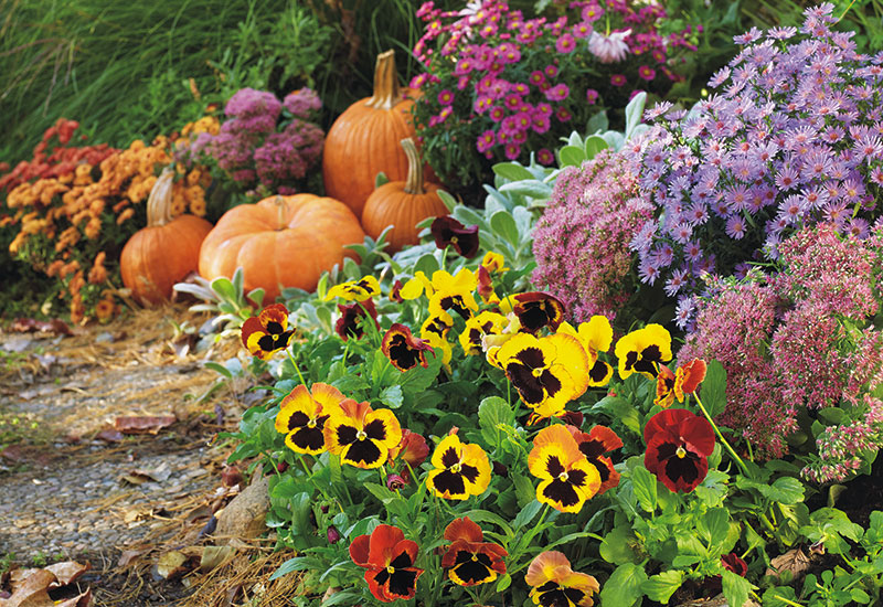 how-to-grow-pansies-lead: Pansies & asters like these will last several weeks in cool fall weather.