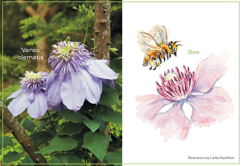 Flower-shapes-Showy-stamens-Bees-Clematis: Clematis have showy stamens that stand up over the base of the flower and attract bees for pollination.