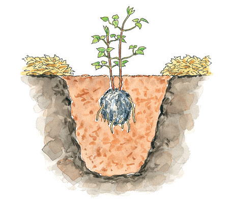 fp-pg-Clematis-anywhere-Illustration: Set the clematis plant in the hole with the crown 2 to 3 inches below the soil surface.