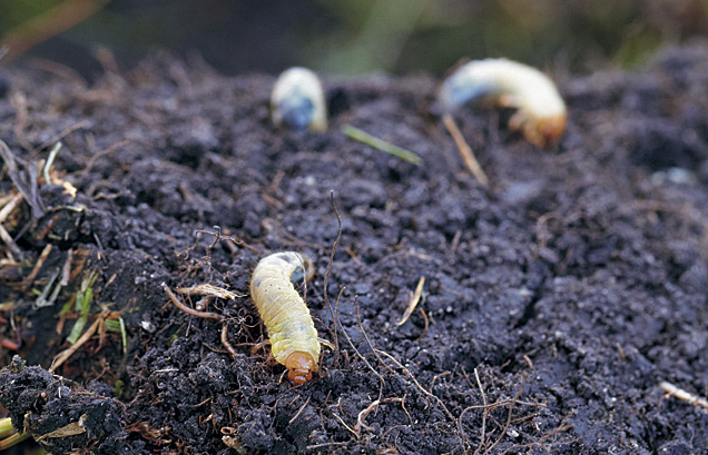ht-dwp-japanese-beetle-grub: Japanese beetle grubs under sod.