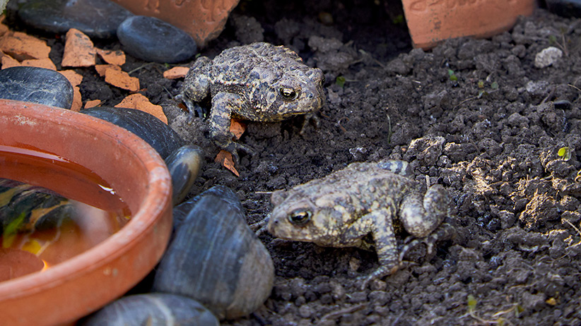 How About Inviting A Guest To Your Garden Who Eats 50 To 100 Slugs, Flies,  Grubs, Grasshoppers And Cutworms Every Night? Well, The Next Time You See A  Toad, ...