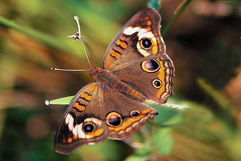 Common-backyard-butterflies-Common-buckeye-Junonia-coenia: To identify common buckeye butterflies, just look for the three eyespots on each set of wings
