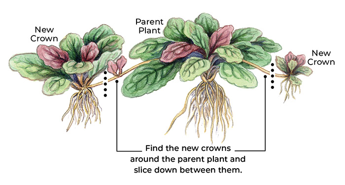 how-to-divide-perennials-spreader: Find the new crowns around the parent plant and  slice down between them.