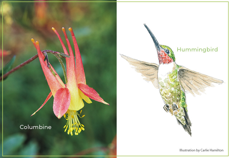 Flower-shapes-Nectar-spurs-Hummingbird-Columbine: Nectar spurs of columbine flowers attract hummingbirds.