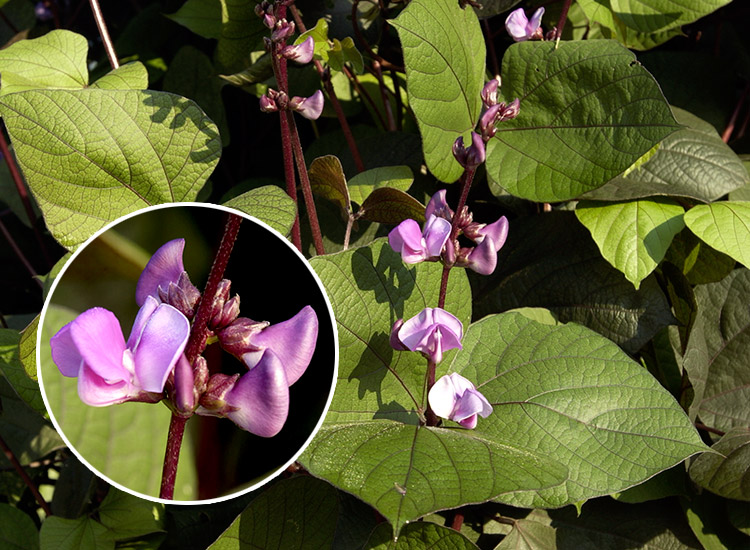 Five Flowering Vines For Your Arbor Garden Gate