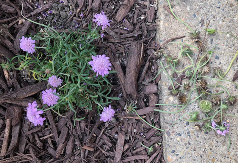 Deadheaded scabiosa: After deadheading, the pincushion flower is a much tidier little guy.