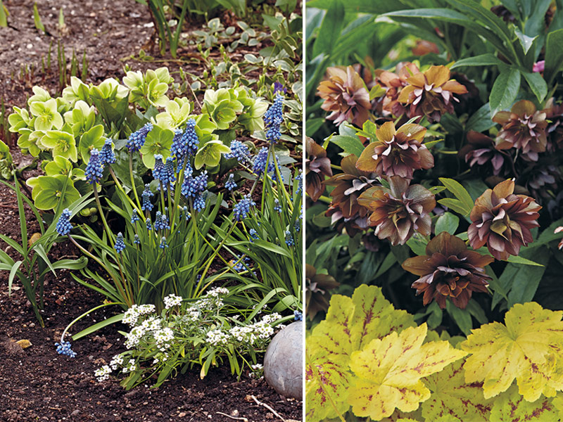 Hellebores in the garden: Hellebores pair well with other plants in the garden from grape hyacinth you see at left to the bright leaved huecherella at right.