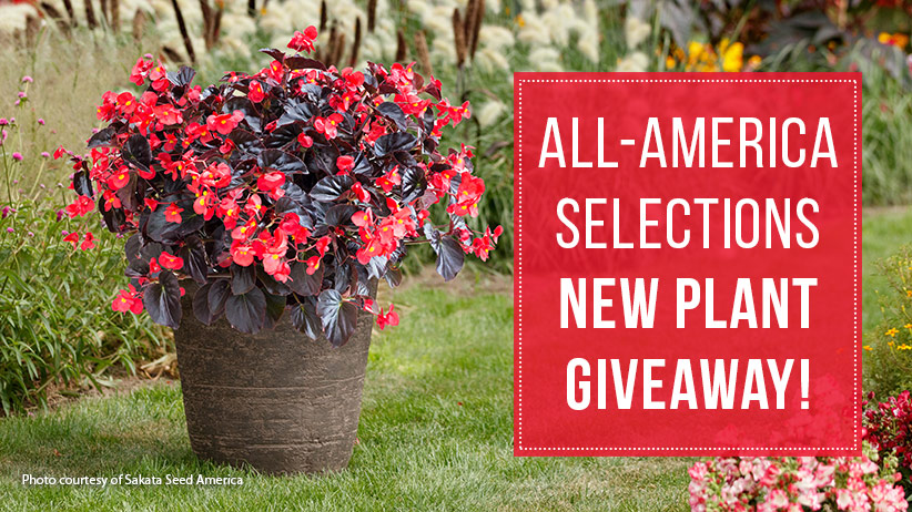 All-America-Selections-Plant-Giveaway-Viking-XL-red-on-chocolate-Sakata-Seed-America-pv2