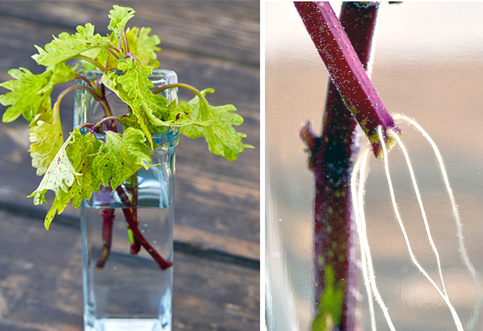 Put coleus cutting in water: Add coleus cuttings to fresh water to root.