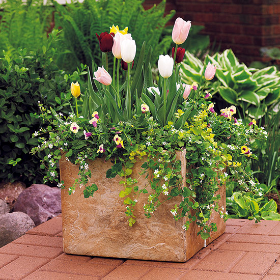 Spring container with tulips and creeping jenny: Buy tulips in bud at the garden center for instant impact.