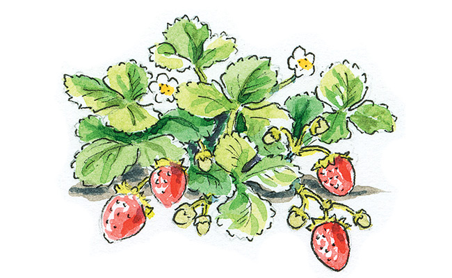 How-to-start-a-strawberry-patch-ever-bearing-day-nuetral
