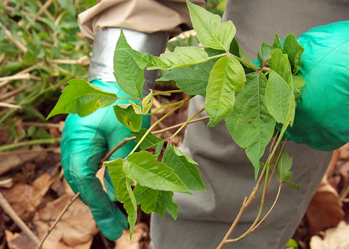 Poison Ivy removal: Take extra precautions like wearing gloves and long pants when removing poison ivy.