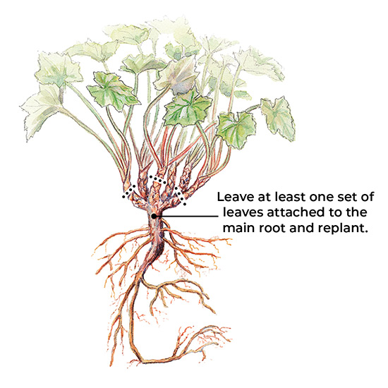 how-to-divide-perennials-woody-crowns: When dividing, leave at least one set of leaves attached to the main root and replant.