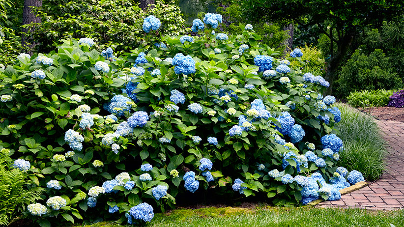 Large hedge of blue hydrangeas: You can change the flower color of hydrangeas to be this lovely shade of blue by acidifying the soil.