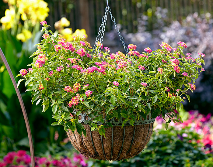 hanging-basket-liner-options-lead:This hanging basket has a coconut coir liner.