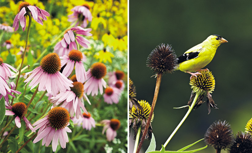 6-plants-birds-love-coneflowers: Birds, such as the American goldfinch above, enjoy coneflower seedheads in fall and winter.
