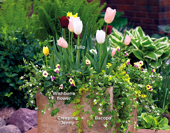 6-ways-to-create-a-beautiful-spring-garden-add-containers: The smaller leaves and flowers of the trailers form a ruffled skirt around the larger flowers and foliage of the tulips, making them stand out in this spring garden container.