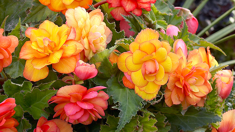 Tuberous begonia Golden balcony: Golden Balcony tuberous begonias bloom in beautiful shades of orange, peach and yellow flowers from spring to frost.